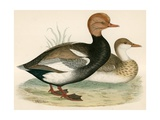 Red Crested Whistling Duck