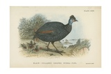 Black-Collared Crested Guinea-Fowl