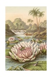 The Great Water Lily  Victoria Regia
