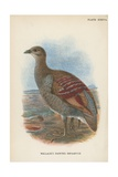 Wallace's Painted Megapode