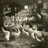 Pecking and Roosting Chickens Fill the Inside of a Hen House  USA  1916