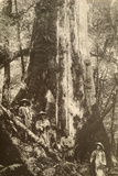 Men Stand Beside a Giant Benihi Tree  Taiwan  1920