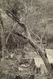 View of a Native Camphor Site in a Camphor Forest  Taiwan  1920