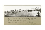 Bedouins Threshing Corn at Beni Saleh  July 1917