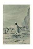 An Emperor Penguin Rookery  c1901-04