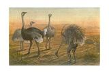 The Ostrich - 'sailing under False Colours'