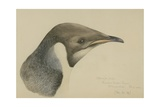 Immature Emperor Penguin  McMurdo Strait  6 Feb  1904