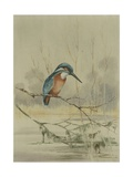 Kingfisher  Illustration from 'A History of British Birds' by William Yarrell  c1905-10