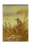 A Kingfisher Amongst Reeds in Winter  1901