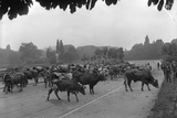 Longchamp Racecourse Transformed into a Cattle Enclosure  Near the Mill of Longchamp  Paris  1914