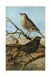 The Speckle-Breasted Thrush  and Yellow-Billed Blackbird