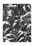 Corn Plants  Mexico  c1929