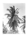 Palm Tree  1925