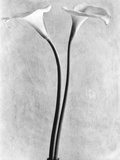 Calla Lilies  Mexico City  1925