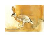 Cape Hare  2010