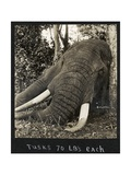 Tusks 70 Lbs Each  c1930