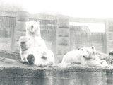 Two Polar Bears in ZSL London Zoo  1927