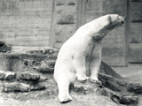Polar Bear Sitting Down  1924