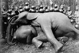 Elephant  c1910