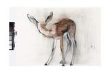 Gazelle Fawn (Arabian Gazelle) 2010