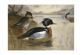 Mergansers  on Loch Maree  1905