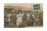 Cote d'Azur  Picking Jasmine Postcard Sent in 1913