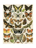 Butterflies and Moths Common to Europe