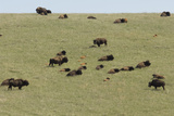 Free-Ranging Buffalo Herd on the Grasslands of Custer State Park in the Black Hills  South Dakota
