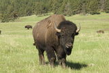 Free-Ranging Bison Bull on the Grasslands of Custer State Park in the Black Hills  South Dakota