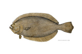 Plaice  or Turbot-Flounder  Specimen From the St John's River  FL  1878  US Fish Commission