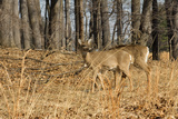 White-Tailed Deer in Late Winter  Pennsylvania