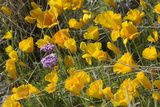 Mexican Poppies and Other Desert Wildflowers Blooming in the Little Florida Mountains  NM