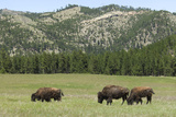 Free-Ranging Bison Herd on the Grasslands of Custer State Park in the Black Hills  South Dakota