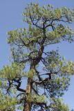Ponderosa Pine  New Mexico