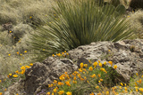 Mexican Poppies  narrow-Leaf Yucca and Other Chihuahuan Desert Plants in Rockhound State Park  NM