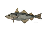 Haddock Specimen Collected at Eastport  Maine  1872  US Fish Commission