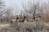 Mule Deer Herd near the Rio Grande  Bosque Del Apache National Wildlife Refuge