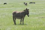 Wild Burros on Grasslands of Custer State Park in the Black Hills  South Dakota