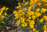 Mexican Poppies Blooming in the Little Florida Mountains  New Mexico