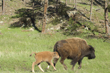 Free-Ranging Bison Mother and Calf on the Grasslands of Custer State Park in Black Hills