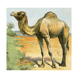 Dromedary  or One-Humped Camel