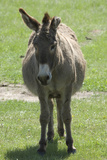 Pregnant Wild Burro on Grasslands of Custer State Park in the Black Hills  South Dakota
