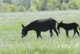 Wild Baby Burro with Its Mother  Custer State Park in the Black Hills  South Dakota