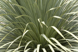 Narrow-Leafed Yucca in Southern New Mexico