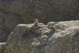 Striped Ground Squirrels of the Black Hills  South Dakota