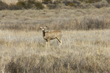 Mule Deer near the Rio Grande  Bosque Del Apache National Wildlife Refuge