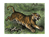 Tiger in the Wild  1800s