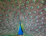Indian or Blue Peacock  Bronx Zoo  New York City  2010