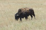 Free-Ranging Bison on the Grasslands of Custer State Park in the Black Hills  South Dakota