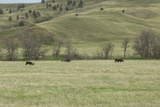 Wild Burros and Pronghorns on Grasslands of Custer State Park in the Black Hills  South Dakota